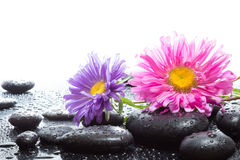 Daisies and wet black stones. White light stock image