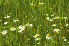 Daisies in wheat Royalty Free Stock Photo
