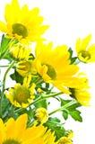 Daisies on white Stock Image