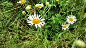 daisies white Royalty Free Stock Photography