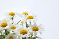 Daisies on white background Royalty Free Stock Images