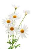 Daisies on white background royalty free stock image