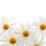 Daisies on white background Stock Image