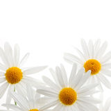 Daisies on white background Stock Photography
