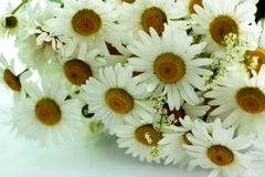 Daisies on a white background Royalty Free Stock Photo