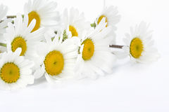 Daisies on a white background Royalty Free Stock Image