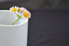 Pink daisies in white cup. Pink and yellow daisies in white cup with grey background Royalty Free Stock Photo