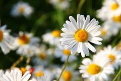 Daisies, White, Flower, Face Royalty Free Stock Photo