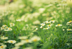 Daisies white flower unfocus with nature light Stock Photos