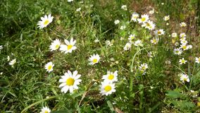 Daisies with white petals flowers swaying from the wind. A small bee flies nearby stock video footage