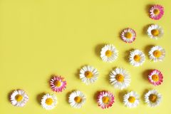 Daisies with white petals on yellow. Flowers daisies with white and pink petals and yellow pollen on yellow background top view with copy space. Mothers day Royalty Free Stock Images