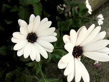 Daisies. White daisies on a summer day Royalty Free Stock Image