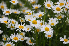 Daisies Royalty Free Stock Photography