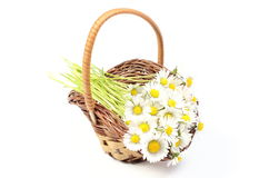 Daisies in wicker basket. White background Royalty Free Stock Photography