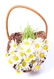 Daisies in wicker basket. White background Stock Photography