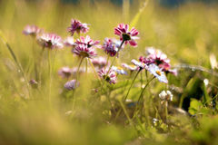 Daisies, wild flowers purple natural Royalty Free Stock Photos