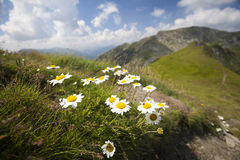 Daisies and wild flowers. With rocky mountains in background Stock Photos