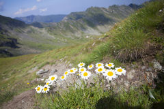 Daisies and wild flowers. With rocky mountains in background Royalty Free Stock Photo