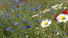 Daisies on a wind stock video footage