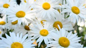 Daisies in wind. Group of big white garden daisies swaying in the wind stock video