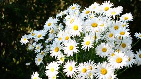 Daisies in wind stock footage