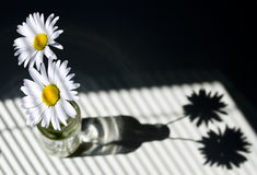 Daisies by a Window with Blinds Royalty Free Stock Photos