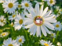 Daisies and woman with empty blank. Royalty Free Stock Photography