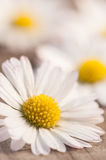 Daisies on wood Stock Image