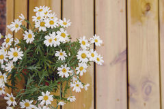 Daisies on the wooden background. A bouquet of wet camomiles on a wooden background Stock Images