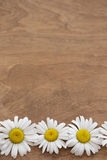 Daisies on wooden background. Daisies on brown wooden background Stock Images