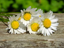 Daisies on wooden background Royalty Free Stock Photo
