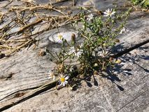 Daisies and the wooden path Royalty Free Stock Images