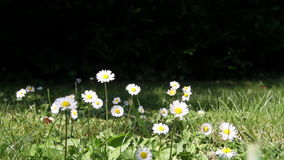 Daisies in a yard stock video