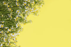 Daisies on a yellow background Stock Photography