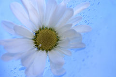 Daisies14 Royalty Free Stock Photos