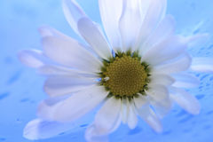 Daisies17. Wild daisies on blue background Stock Images