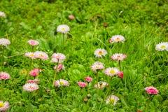 DaisiesBellis pequenos que crescem no prado entre a grama verde Fotos de Stock Royalty Free