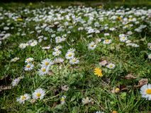 Daisises in a field in spring time royalty free stock images