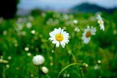 Daisyï-¼ Œflowersï-¼ ŒThe-Sonnenchrysantheme Stockbilder