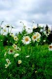 Daisyï-¼ Œflowersï-¼ ŒThe-Sonnenchrysantheme Lizenzfreies Stockbild