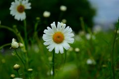 Daisyï-¼ Œflowersï-¼ ŒThe-Sonnenchrysantheme Lizenzfreie Stockbilder