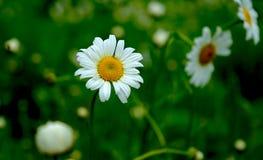 Daisyï-¼ Œflowersï-¼ ŒThe-Sonnenchrysantheme Stockfotografie