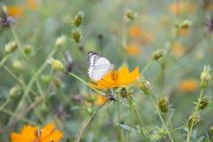 Daisy与蝴蝶的de布什 库存照片
