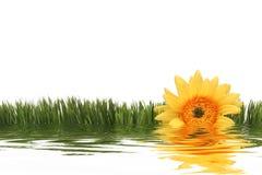 daisy żółty Fotografia Royalty Free