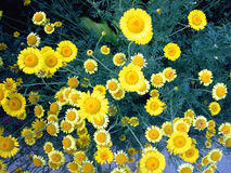 daisy żółty Zdjęcia Stock