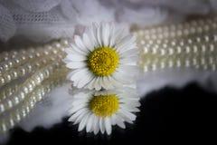 Daisy και μαργαριτάρια Στοκ Εικόνα