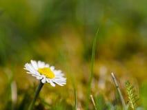 Daisy και μια λεπίδα της χλόης Στοκ Εικόνες