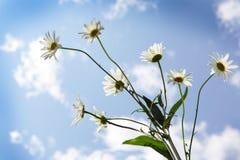 Daisy και ουρανός Στοκ φωτογραφίες με δικαίωμα ελεύθερης χρήσης
