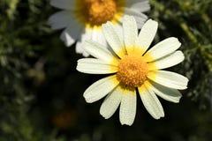Daisy με τις πτώσεις δροσιάς Στοκ φωτογραφία με δικαίωμα ελεύθερης χρήσης