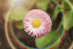 Daisy με το ουράνιο τόξο Στοκ Φωτογραφίες